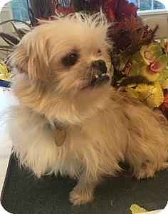 ADOPTED! :) ★2/19/16 SL★Oak Ridge, NJ - Second Chance Pet Adoption League, Shih Tzu/Maltese Mix. Meet SULLY, a dog for adoption. http://www.adoptapet.com/pet/14236781-oak-ridge-new-jersey-shih-tzu-mix
