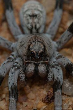 Grey Wolf Spider....AAAAAAAAAAAAAAAAAAAAHHHHHHHHHHHHH........it will kill us all