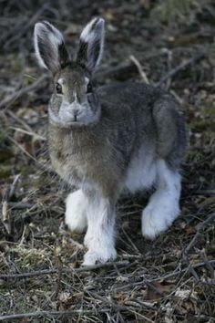 Snowshoe hare not quite finished changing into his summer coat