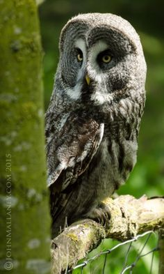 Chouette lapone // Great grey owl -