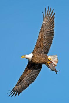 Basketball  American Bald Eagle