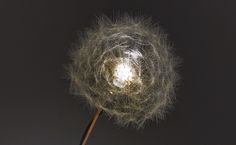 A Single Dandelion Serves as a Delicate Natural Light Source - My Modern Metropolis