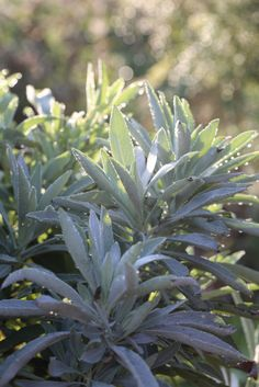 How to grow white sage and use it medicinally.  Salvia apiana, white sage
