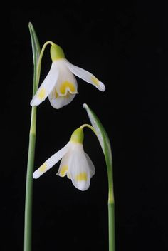 Galanthus MIDAS