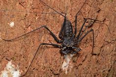 Weird But Real Animals - - Tailless Whip Scorpion or Tailless Whip Spider (ZweepSpin)