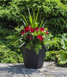 Rio dipladenias, red blooms with sprengerii fern and spike accents. Rio dipladenias, red blooms with sprengerii fern and spike accents. Outdoor Flowers, Outdoor Planters, Garden Planters, Outdoor Gardens, Container Flowers, Container Plants, Container Gardening, Large Flower Pots, Flower Planters