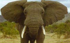 Η συγκινητική επανένωση δύο ελεφάντων έπειτα από 20 χρόνια (βίντεο)