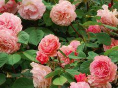 "david austin rose ""leander"""