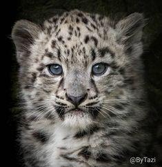 Grey Cats, Leopards, Snow Leopard, Big Cats, Fur Babies, Cat Lovers, Lion, Wildlife, Kitty