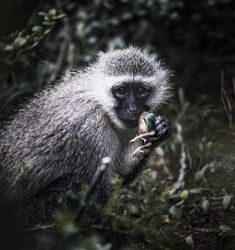 This monkey looked me dead in the eyes as he chomped down on his lunch Wild Photography, Monkey, Digital Prints, My Photos, Beautiful Pictures, Africa, Lunch, Bird, Eyes