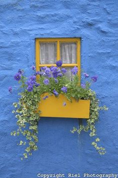bright yellow window in bright blue wall, pantone little boy blue, periwinkle blue, bright blue, purple flowers, green vine plant