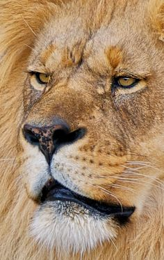 Close Close-Up of an Amazing Elderly African Male Lion. He Has Such a Strong Looking Face. Lion And Lioness, Lion Of Judah, Vida Animal, Mundo Animal, Beautiful Cats, Animals Beautiful, Lion Tigre, Animals And Pets, Cute Animals