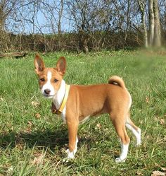 Young Basenji at Crocadon Farm & Markets, St Mellion, Cornwall. A great dog friendly place to visit in Cornwall