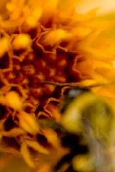 Yellow Hammer Dahlia                            #photographytalk #macrophotography