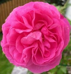Роза в саду 🌹