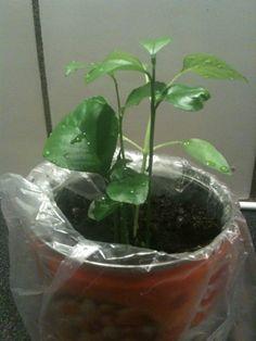 zelf geplante ctiroen pitten, duurde even voor ze opkwamen maar nu gaat het erg snel