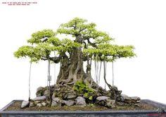 banyan style bonsai - Szukaj w Google