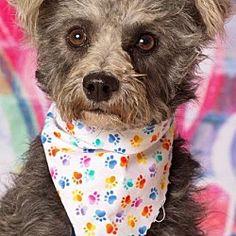 Gilbert, Arizona - Schnauzer (Standard). Meet Marietta, a for adoption. https://www.adoptapet.com/pet/19998361-gilbert-arizona-schnauzer-standard-mix