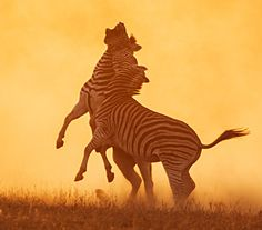 Zebra fight...