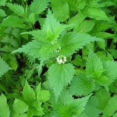 PROSTECT Parsley, Cooking Recipes, Herbs, Green, Food, Prostate Cancer, Chef Recipes, Essen, Herb