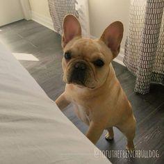 Tofu, the French Bulldog