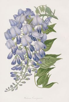Wistaria from Paxton Magazine Botany Antique Prints 1834