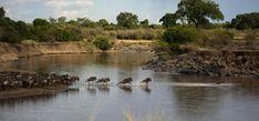 Epic wildebeest Mara river crossing