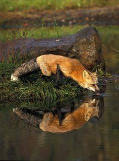 Two gorgeous foxes!  I love the effect the ripples have on the reflected fox!