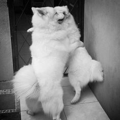 love hug #samoyed #dog
