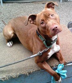 06/18/14~~Gaia American Staffordshire Terrier  Chocolate Labrador Retriever Mix • Young • Female • Medium SPCA of Westchester Briarcliff Manor, NY