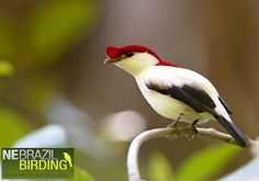 Araripe Manakin - a critically endangered species, one of the rarest birds in Brazil by © Ciro Albano - NE Brazil Birding, via Flickr.com
