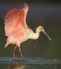 Roseate Spoonbill - Mary Goetzinger Photography