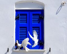 white doves on blue shuttered window in Greece ~ photo by Dimitris Sotiropoulos Mykonos, Santorini, Greek Blue, White Doves, Through The Window, Greek Islands, Windows And Doors, Electric Blue, Tourism