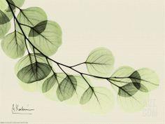 Sage Eucalyptus Leaves II Print by Albert Koetsier at eu.art.com