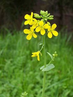 Extra mustard from your garden are greatly appreciated by your local . Mustard Flowers, Nasturtium, Popular Flowers, Edible Flowers, Yellow Mustard Seeds, Flowers, Mustard Seed Plant, Plant Photography, Mustard Plant