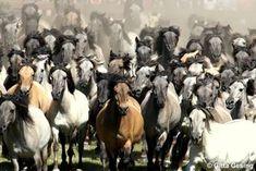 Dülmener pony, duits wild paard ©Gitta Gesing