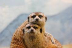 holy crap, I want a meerkat!