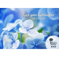 #Hydrangeas need to be kept in a moist place to stay healthy and blooming #Colombia #flowers #tips #care