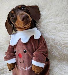 @schmitt.happenss on Instagram and Facebook  #dachshund#miniaturedachshund#sausagedog#doxie#dogs#pets#animals#cute#puppy