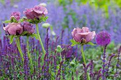 Zahradní máky (Papaver oriebtale), šalvěj (Salvia) a šanta (Nepeta) v dokonalé souhře barev.