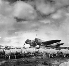 Sheep graze peacefully in front of Bristol Beaufighter Mark IVFs of No. 153 Squadron RAF at Setif, Algeria. Bristol Beaufighter, Plane Photos, Heavy Cruiser, Ww2 Pictures, Ww2 Planes, Ww2 Aircraft, Royal Air Force, North Africa, Military History