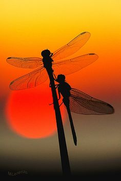 sunset on Dragonfly Dragonfly Quotes, Dragonfly Art, Dragonfly Tattoo, Beautiful Creatures, Animals Beautiful, Cute Animals, Beautiful Bugs, Beautiful Butterflies, Silhouettes