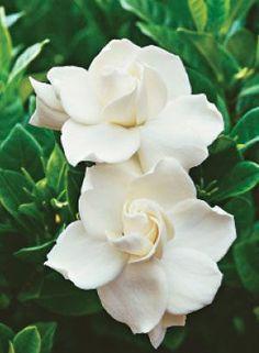fine 10 Best Fragrant Flowers to Scent Your Spring Garden Gardina Flowers, My Flower, Planting Flowers, Beautiful Flowers, Wedding Flowers, White Roses, White Flowers, White Gardenia, Gardenia Bush