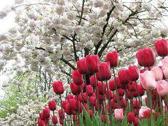 tulipanes rojos y rosas bajo flores blancas Paisajes con flores naturales