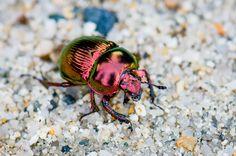 Geotrupes auratus, I love the chrome iridescent bugs!