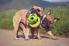 Französische Bulldogge - French Bulldog - Chuckit Floppy Tug