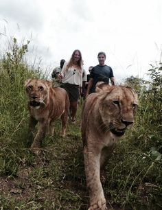 Walking with lions in livingstone, Zimbabwe