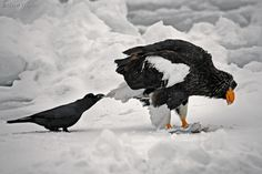 """""""You don't mind if I yank your tail do you?"""" Ravens.... such tricksters."""