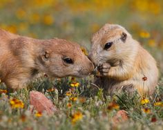 Honorable Mention. An older prairie dog checking on a baby prairie dog. By Brandon Marling