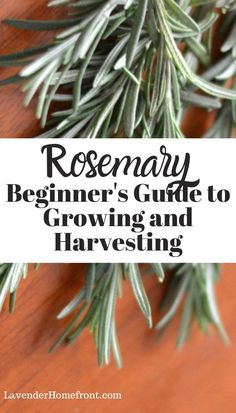 Learn all about how to grow and harvest rosemary. This great beginner's guide will have you growing rosemary that thrives.